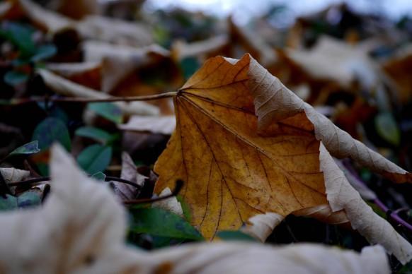 Herbstlaub auf der Friedhofshecke, November 2017