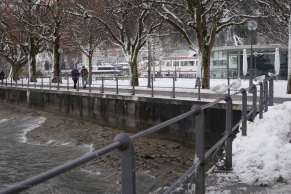 Seemöwen am Bodensee, Seepromenade Bregenz, Dezember 2017