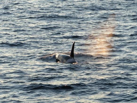 Orca in Sicht! Februar 2018