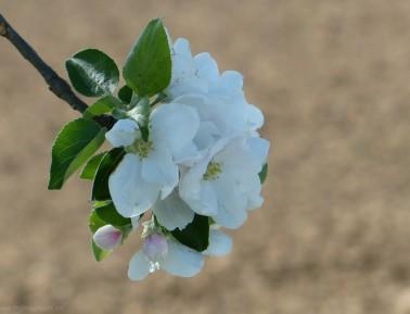 Apfelblüte, Vollfrühling 2018
