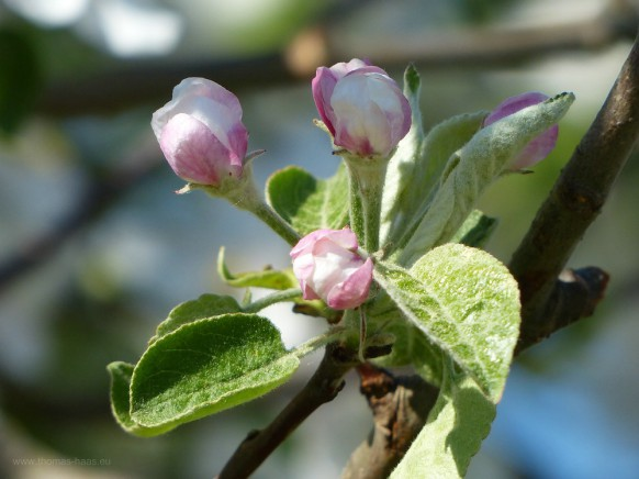 Blüten am Apfelbaum, April 2019