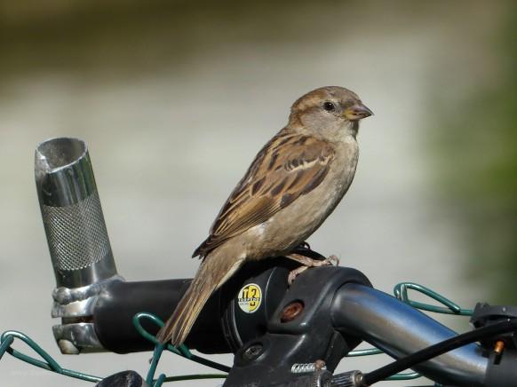 Bild des Monats, Juli 2018, der Ulmer Spatz auf dem Fahrradlenker...