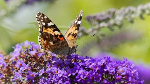 Bild des Monats August 2018. Schmetterling (Distelfalter)auf Sommerflieder