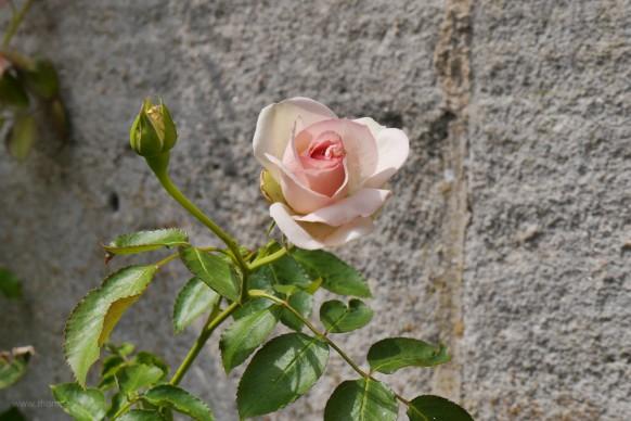 Rose vor der Mauer, Bebenhausen, 2018