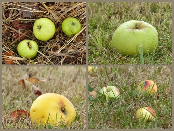 Fallobst, Äpfel, im August 2018