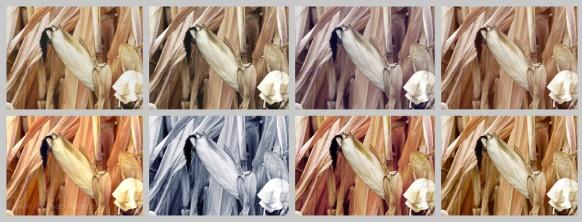 Ein Bild vom Mais in acht Versionen, August 2018