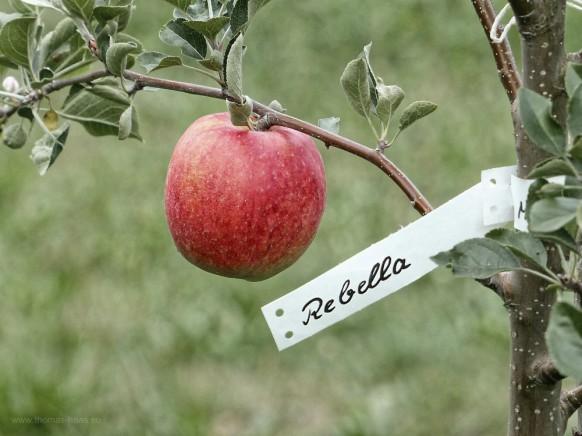 Apfel der Sorte Rebella®, 01.09.2018