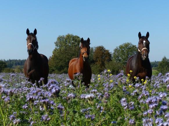 Drei Pferde - ein Bild, September  2018
