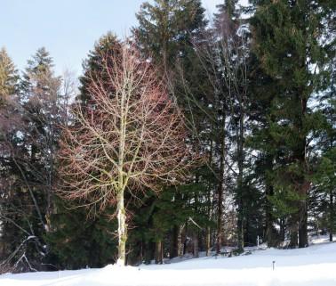 Laubbaum vor Nadelwald...