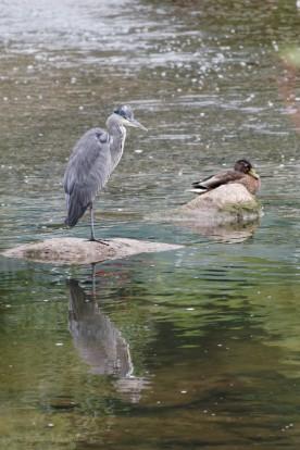Reiher und Ente in der Rems, 2019
