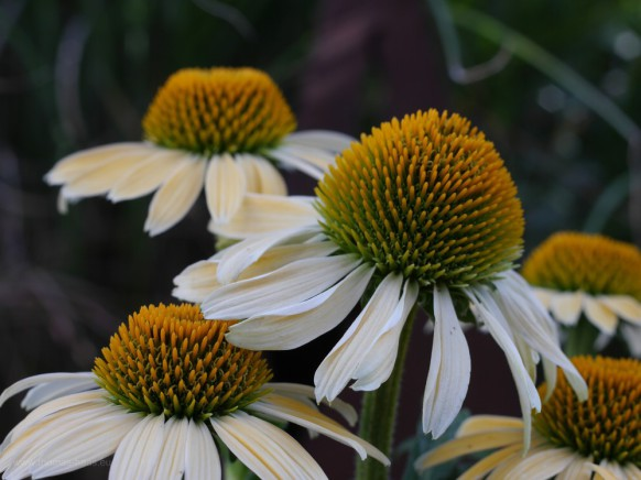 Bild des Monats, September 2019, Sonnenhut, Kübelpflanze, mit Altglas fotografiert