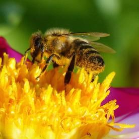 Biene auf Dahlienblüte, 2019