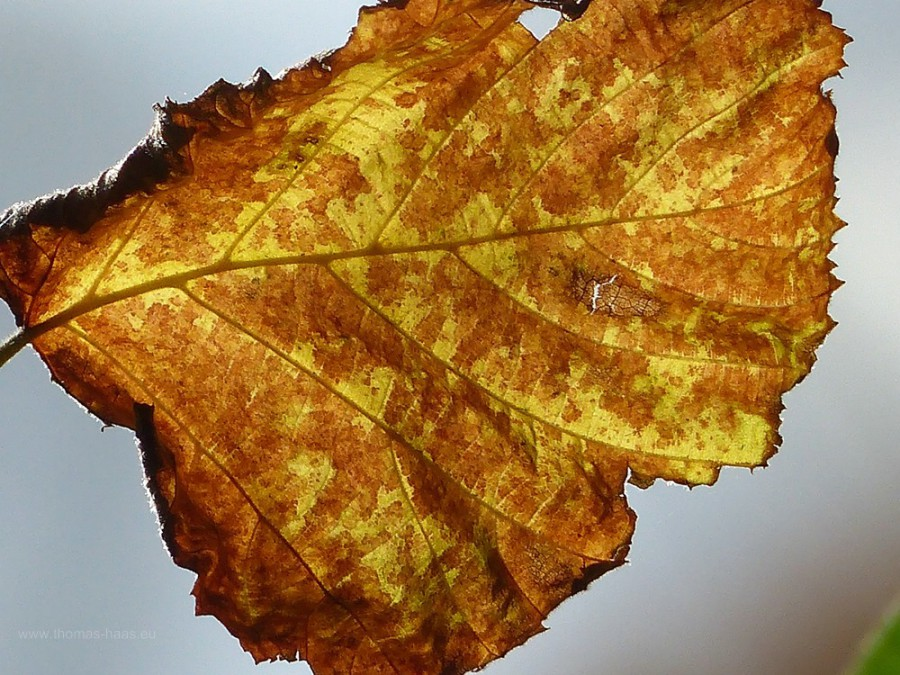Herbstlaub schimmert wie Bernstein, Oktober 2019
