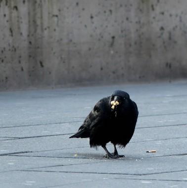 Eine Krähe auf dem Geschwiister-Scholl-Platz, März 2020