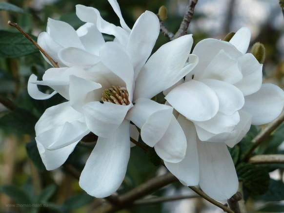 Bild des Monats, Juli 2020, Magnolienblüte in Weißenhorn