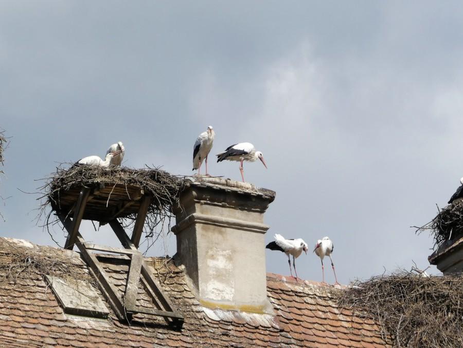 Störche auf dem Dach, 2020