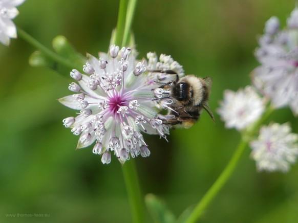 Biene auf zartem Pflänzchen...