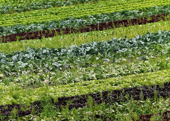 Salat und Gemüse im Anbau einer Gärtnerei