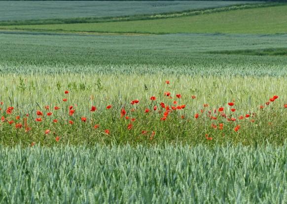 Grüntöne des Getreides auf dem Acker