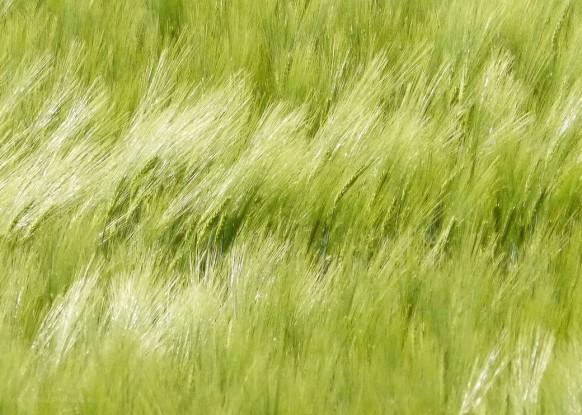 Gerstenfeld im Wind...