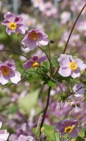 Blüten im Wirtshausgarten...