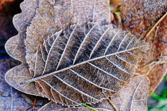 Bild des Monats, Janaur 2021, Winter - Frost auf dem Laub...