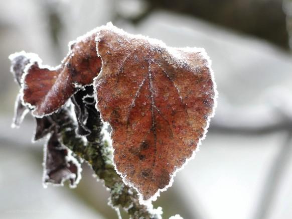 Blattwerk und Frost, Dezember 2020