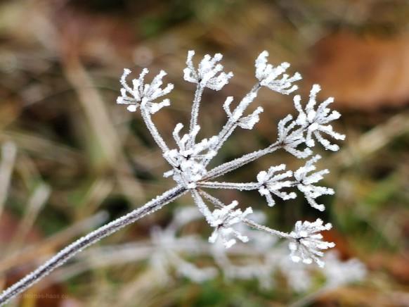 Bodenfrost auf Gräsern, Dezember 2020