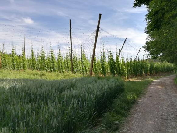 Hopfengarten im Juni 2021