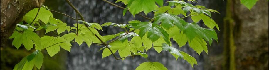 Ahornbaum vor dem Wasserrad